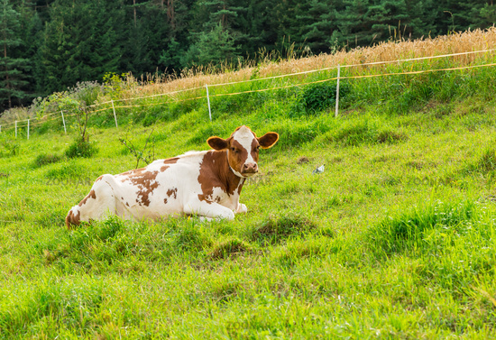 Cow resting and grazing on meadow in mountains