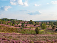 View from Wilsede hill through the landscape of Lueneburg Heath at full bloom, Lower Saxony, Germany