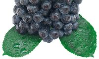 Aronia Fruit Cutout