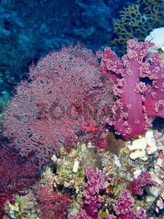 Rote Koralle (Corallium rubrum)