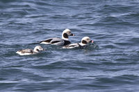 two male and female long-tailed ducks floating along the shore of a winter day
