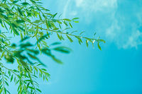 Olive tree leaves and blue sky, summer in the Mediterranean