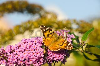 Schmetterling Landkärtchen auf Flieder