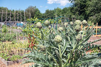 Dutch allotment garden with artichoke plants and bean stakes