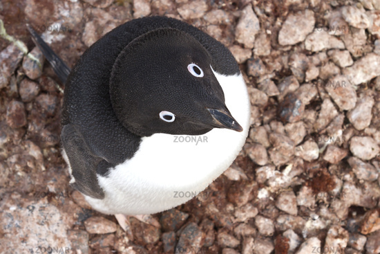 Portrait of Adelie penguin sitting in the nest, and looking up