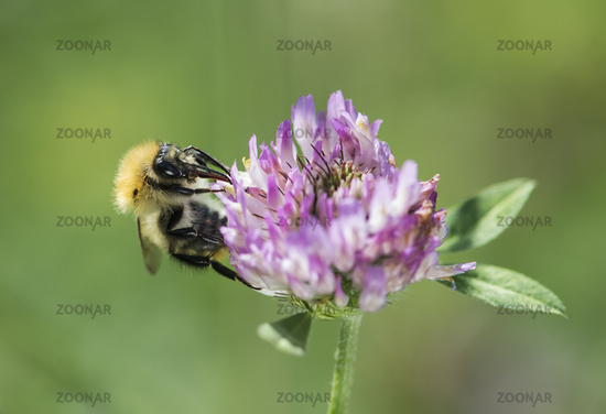 Longhorn bees searching for pollen,  Switzerland