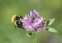 Long-horned bee searching for pollen on a wild clover flower