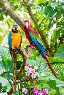 Colorful birds pair of Macaw