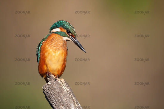 Common kingfisher sitting on stump in summer nature