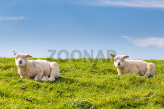 Little lambs lying in the grass