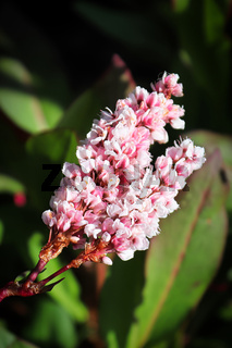 A vertical closeup view of the bistort blossom spike