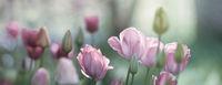 tulpen rosa rot dunkelrot licht trauer