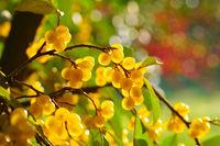 Essbare Oelweide, Elaeagnus multiflora mit vielen Beeren - cherry elaeagnus, Elaeagnus multiflora with many berries