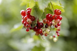 Rote Garten-Johannisbeere, Ribes rubrum, Red currant,