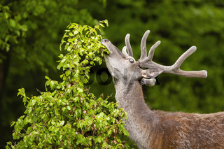 Red deer stag with antlers in velvet stretching neck and grazing in forest