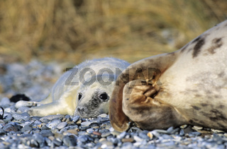 Kegelrobben-Weibchen und Robbenbaby am Strand / Gray Seal cow and pup on the beach - (Grey Seal - Horsehead Seal) / Halichoerus grypus