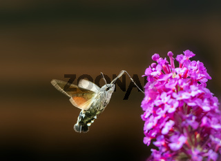 Hummingbird hawk-moth flying to a budleia flower