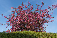 bright pink crabapple blossoms - spring