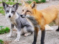 Two cute tamed foxes looking on man