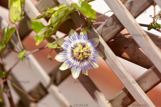 Passion flower 'Purple Haze