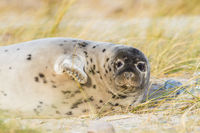 Young grey seal (Halichoerus grypus) at Heligoland, Germany