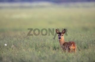 Rehbock - Jaehrling steht sichernd auf einer Wiese - (Reh - Europaeisches Reh) / Roe Deer pricket stands securing in a meadow - (European Roe Deer - Western Roe Deer) / Capreolus capreolus