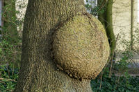 A tree causing ulcer