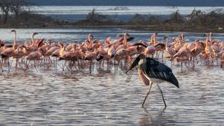 marabou stork walks among lesser flamingos in kenya