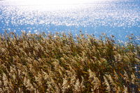 Reed grass in autumn on the blue lake shore with thousands of blurred glitter dots