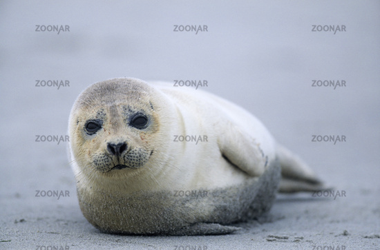 Harbor Seal one year old lying on the beach