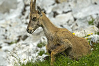 Young Alpine Ibex lying in the grass, Haute-Savoie, France