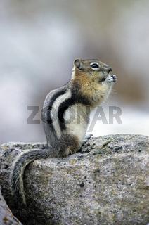 Goldmantel-Ziesel sitzt auf einem Felsen - (Goldmantelziesel) / Golden-mantled Ground Squirrel sitting on a rock - (Golden Mantled Ground Squirrel) / Spermophilus lateralis - Callospermophilus lateralis