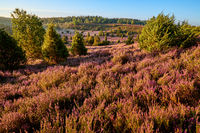 Lüneburg Heath at sunrise
