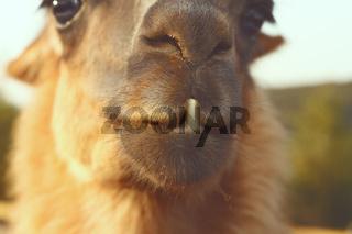 closeup of llama ( Lama glama ) teeth