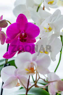 Blooming orchids close-up.