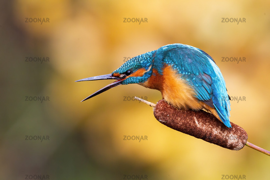 Angry common kingfisher calling with beak open in spring