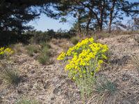 Euphorbia cyparissias_Spurge on a slope