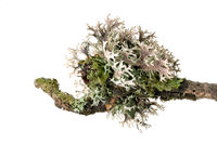 Macro shot of a lichen on a dead branch isolated on white