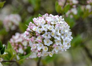 Weißer Blütenstand eines Duftschneeballs