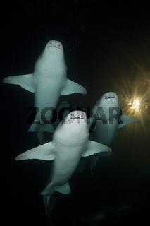 Gruppe Ammenhaie in der Nacht, Malediven
