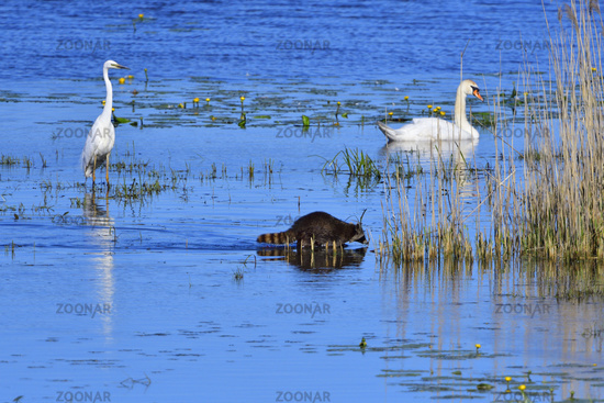 Raccoon and grat egret in a lake