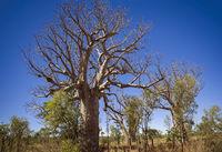 Boab tree at the dry season with blue sky at the Kimberleys - Western Australia
