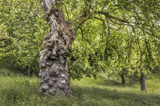 Der alte Baumstamm