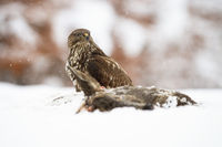 Majestic common buzzard sitting on meadow in winter.