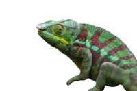 Colorful Chameleon isolated on white background