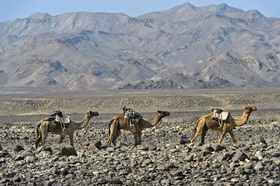Dromedary caravan moving through a stone desert in the Danakil Depression,Ethiopia