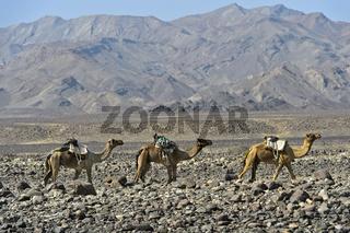 Dromedar-Karawane auf der Wanderung durch eine Steinwüste in der Danakil Depression