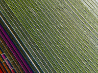 Aerial view of striped and colorful tulip field in the Noordoostpolder municipality, Flevoland