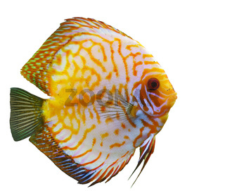 tropical fish diskus