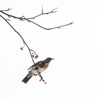 Thrush bird sits on a rowan branch